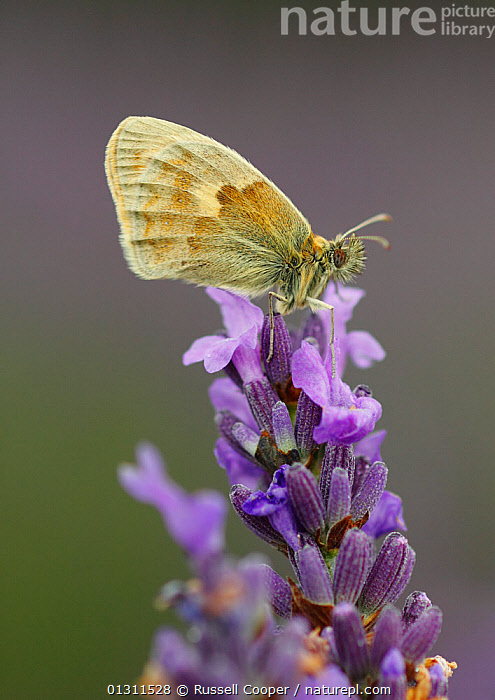Small Heath Butterfly (Coenonympha pamphilus) on Lavender (Lavandula sp.) flowers, Mayfield Lavender Farm, North Downs, Surrey. UK, July, COLOURFUL,FEEDING,FLOWERS,LAVANDULA SP ,NECTAR,PURPLE,SUMMER,UK,Europe,United Kingdom,Lepidoptera ,INSECTS,ARTHROPODS,INVERTEBRATES,LEPIDOPTERA, Russell Cooper