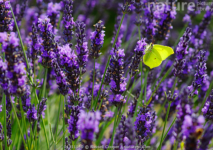 Brimstone Butterfly (Gonepteryx rhamni) feeding from Lavender flowers (Lavandula sp.) Mayfield Lavender Farm, North Downs, Surrey. UK, July  ,  ARTHROPODS,BEHAVIOUR,BUTTERFLIES,COLOURFUL,FEEDING,FLOWERS,INSECTS,INVERTEBRATES,LAVANDULA SP ,LEPIDOPTERA,NECTAR,PURPLE,UK,YELLOW,Europe,United Kingdom  ,  Russell Cooper