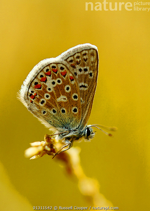 Female Common Blue Butterfly (Polyommatus icarus) at rest, Morden, South London. UK, August, ARTHROPODS,BUTTERFLIES,FEMALES,INSECTS,INVERTEBRATES,LEPIDOPTERA,PORTRAITS,SUMMER,UK,Europe,United Kingdom, Russell Cooper