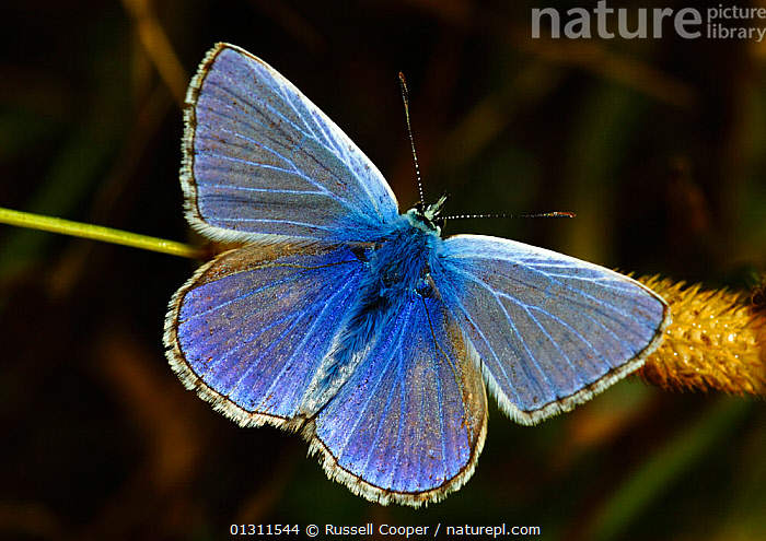 Male Common Blue Butterfly (Polyommatus icarus) at rest with wings open, Morden, South London. UK, August  ,  ARTHROPODS,BLUE,BUTTERFLIES,COLOURFUL,INSECTS,INVERTEBRATES,LEPIDOPTERA,MALES,PORTRAITS,UK,WINGS,Europe,United Kingdom  ,  Russell Cooper