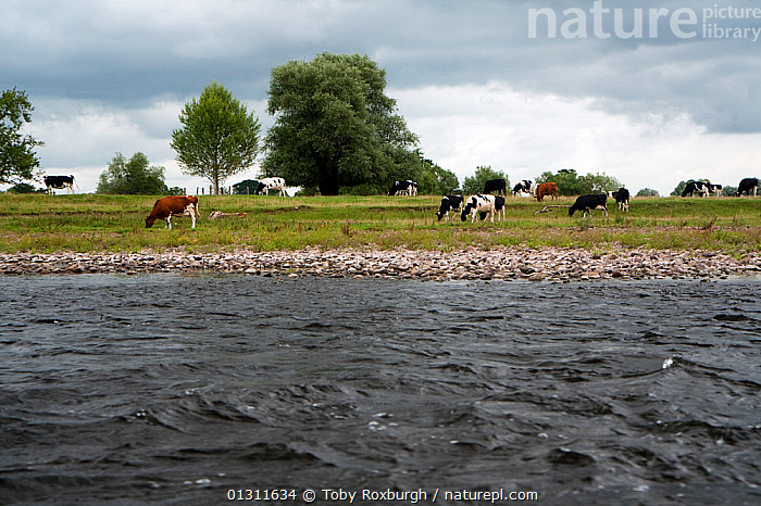 Cattle (Bos taurus) grazing next to the River Usk, Wales, June 2010., ARTIODACTYLA,BEHAVIOUR,BOVIDS,CATTLE,EUROPE,FARMLAND,FEEDING,HERDS,LANDSCAPES,LIVESTOCK,MAMMALS,RIVERS,UK,VERTEBRATES,WALES,United Kingdom, Toby Roxburgh