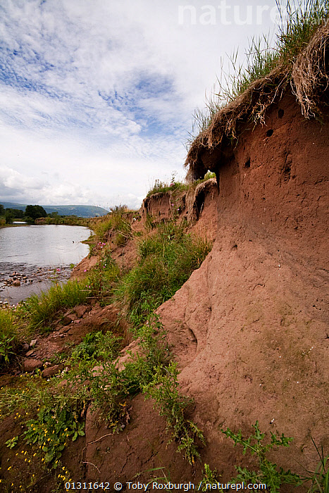 Sand martin (Riparia riparia) nests in bank along River Usk, Wales., BIRDS,EUROPE,LANDSCAPES,NESTS,RIVERBANK,RIVERBANKS,RIVERS,SWALLOWS,UK,VERTEBRATES,VERTICAL,WALES,United Kingdom, Toby Roxburgh