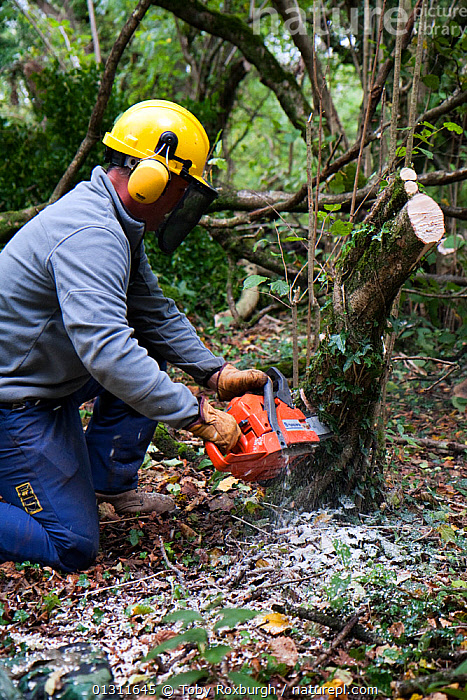 Man with chainsaw coppicing Hazel (Corylus avellana) tree to help improve biodiversity in the woodland, Wales, October 2009. Model released., BETULACEAE,BIODIVERSITY,CHAINSAWS,CONSERVATION,COPPICING,DICOTYLEDONS,EDIBLE,ENVIRONMENTAL,EUROPE,MAN,MANAGEMENT,PEOPLE,PLANTS,SAFETY EQUIPMENT,TOOLS,UK,VERTICAL,WALES,WOODLANDS,WORKING,United Kingdom, Toby Roxburgh