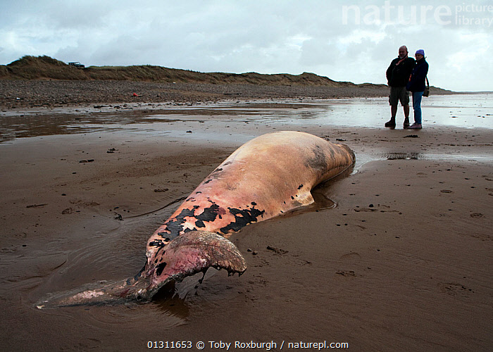 Scientist from the Welsh Marine Environmental Monitoring team and ranger from Kenfig Nature Reserve looking at the carcass of a Sowerby's Beaked Whale (Mesoplodon bidens), washed up on the coast near Porthcawl, South Wales. Model released.  ,  BEACHED,BEACHES,BRIDGEND,CETACEANS,COASTS,DEATH,DECAYED,EUROPE,MAMMALS,MARINE,PEOPLE,UK,VERTEBRATES,WALES,WHALES,ZIPHIIDAE,United Kingdom  ,  Toby Roxburgh