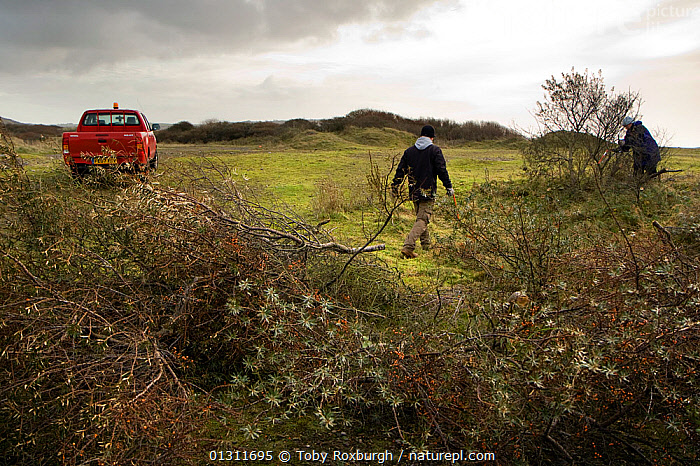Volunteers and local council staff clearing Common sea buckthorn (Hippophae rhamnoides), which spreads rapidly and smothers sensitive dune plant communities, Newton Burrows (a provisional LNR and part of the Kenfig SAC designation), Wales, December 2009. Model released., CONSERVATION,DICOTYLEDONS,ELAEAGNACEAE,ENVIRONMENTAL,EUROPE,PEOPLE,PLANTS,TRUCKS,UK,VEHICLES,WALES,WORKING,United Kingdom, Toby Roxburgh