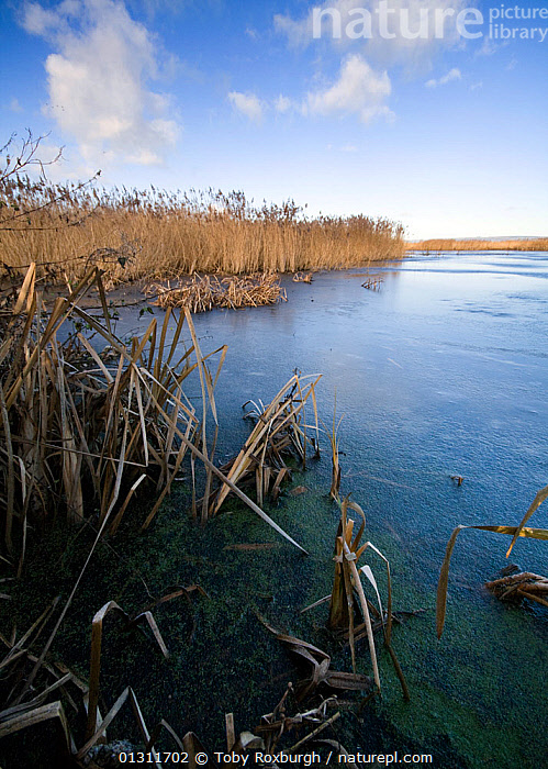 Froken lake in the RSPB National Nature Reserve (NNR), Somerset, England, December 2009., ENGLAND,EUROPE,FROZEN,ICE,LAKES,LANDSCAPES,REEDS,RESERVE,UK,VERTICAL,WATER,WINTER,United Kingdom, Toby Roxburgh