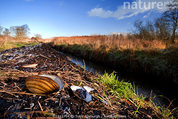 Freshwater / river mussel (Unio tumidus) shells on the bank of a small rhyne / drainage ditch in the Han Wall RSPB National Nature Reserve, England, December 2009., BIVALVES,DIRCHES,DRAINAGE,ENGLAND,EUROPE,FRESHWATER,INVERTEBRATES,LANDSCAPES,MOLLUSCS,MUSSELS,RESERVE,SOMERSET,STREAMS,UK,UNIONIDAE,WATER,WINTER,United Kingdom,Bivalve,Marine, Toby Roxburgh