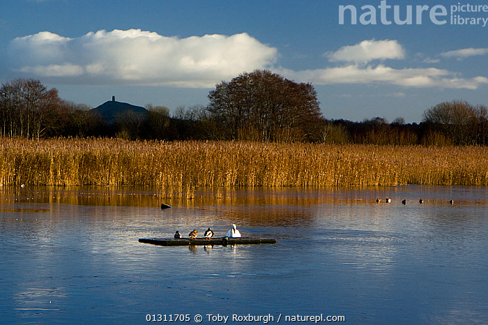 Lake and birds at the Ham Wall RSPB National Nature Reserve (NNR), with Glastonbury Tor in the background, Somerset, England, December 2009., BIRDS,BUILDINGS,ENGLAND,EUROPE,LAKES,LANDMARKS,LANDSCAPES,REEDS,RESERVE,UK,WATER,WINTER,United Kingdom, Toby Roxburgh