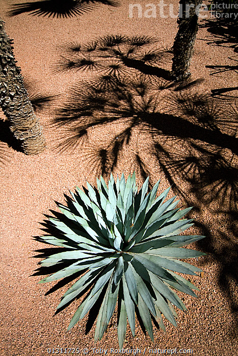 Agave (Agave genus) and Palms (Palmae) growing in the Jardin Majorelle, Marrakech, Morocco, March 2010.  ,  ABSTRACT,AFRICA,AGAVACEAE,ARECACEAE,GARDENS,MONOCOTYLEDONS,MOROCCO,NORTH AFRICA,PALMS,PATTERNS,PLANTS,SHADOW,SHADOWS,VERTICAL,NORTH-AFRICA  ,  Toby Roxburgh