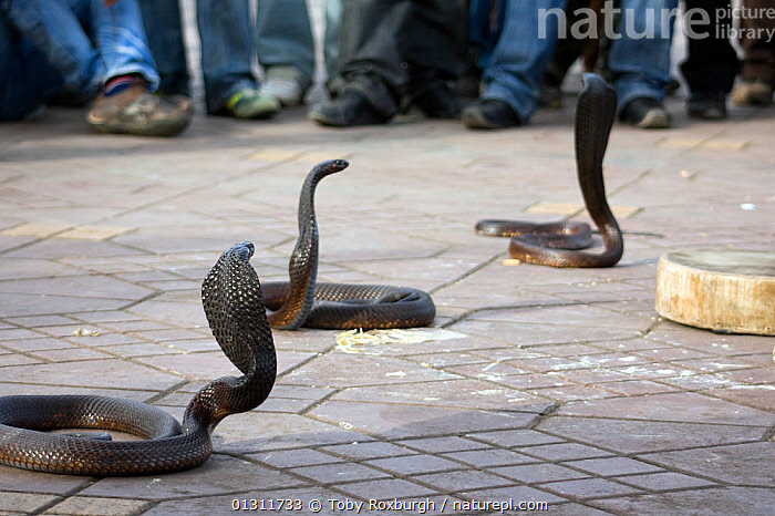 Cobras (Naga) surrounded by crowd of observers, Djemaa el Fna, Marrakech, Morocco, March 2010., AFRICA,BEHAVIOUR,CAPTIVE,CHARMED,CITIES,COBRAS,MOROCCO,NORTH AFRICA,PEOPLE,PERFORMANCE,REPTILES,SNAKES,SPECTATORS,TOURISM,VERTEBRATES,NORTH-AFRICA, Toby Roxburgh