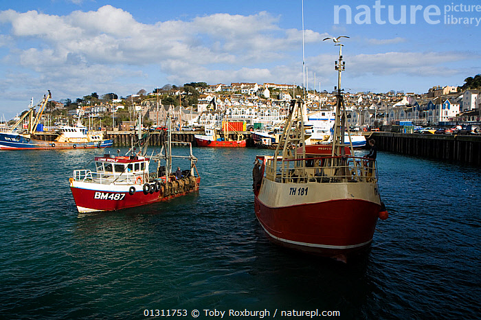 Day-boats returning to Brixham Harbour to land their catch, Devon, England., BOATS,BUILDINGS,COASTS,ENGLAND,EUROPE,FISHING BOATS,FRONT VIEWS,HARBOURS,TOWNS,TRAWLERS,UK,WORKING BOATS,WORKING-BOATS ,United Kingdom, Toby Roxburgh