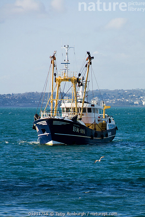 """A """"Brixham beamer"""" (fishing trawler) returning to Brixham Harbour to land its catch, Devon, England., BEAM TRAWLERS,BOATS,COASTS,EUROPE,FISHING BOATS,FRONT VIEWS,TOWNS,TRAWLERS,UK,VERTICAL,WORKING BOATS,ENGLAND,WORKING-BOATS ,United Kingdom, Toby Roxburgh"""