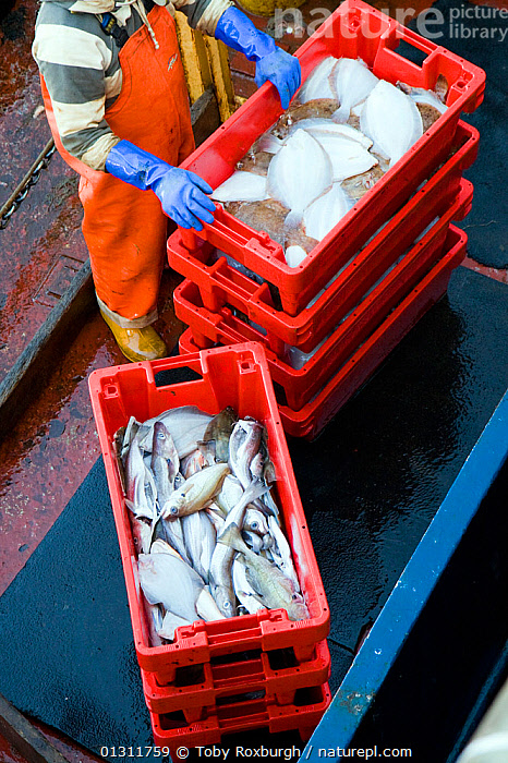 Crates of fish ready to be unloaded from the deck of a trawler, Brixham, Devon, England., BOATS,CAUGHT,COMMERCIAL,CRATE,ENGLAND,EUROPE,FISH,FISHING,FISHING BOATS,MAN,PEOPLE,TRAWLERS,UK,VERTICAL,WORKING,WORKING BOATS,WORKING-BOATS ,United Kingdom,core collection xtwox, Toby Roxburgh