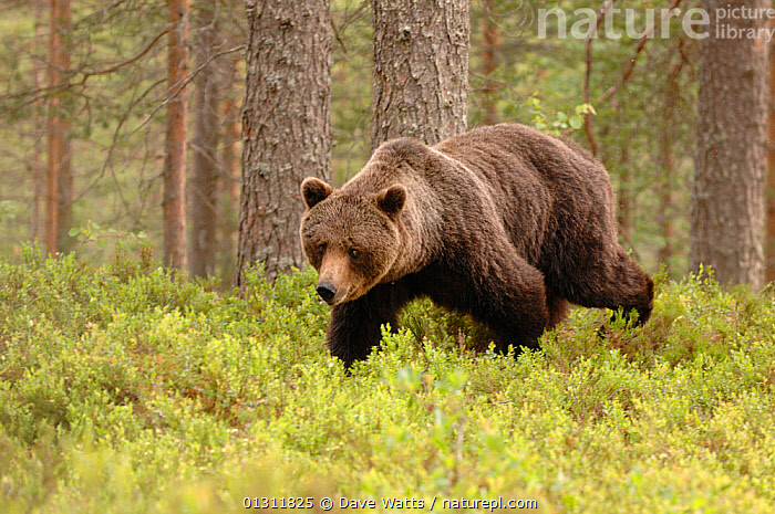 European Brown Bear (Ursos arctos) walking through Pine forest, Finland, Scandinavia, BEARS,CARNIVORES,FORESTS,HABITAT,MAMMALS,SCANDINAVIA,VERTEBRATES,WALKING,Europe, Dave Watts