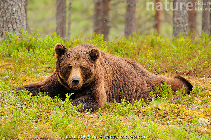 European Brown Bear (Ursos arctos) portrait lying down, in Pine forest, Finland, Scandinavia  ,  BEARS,CARNIVORES,FORESTS,MAMMALS,PORTRAITS,RELAXED,RESTING,SCANDINAVIA,TREES,VERTEBRATES,Europe,PLANTS  ,  Dave Watts