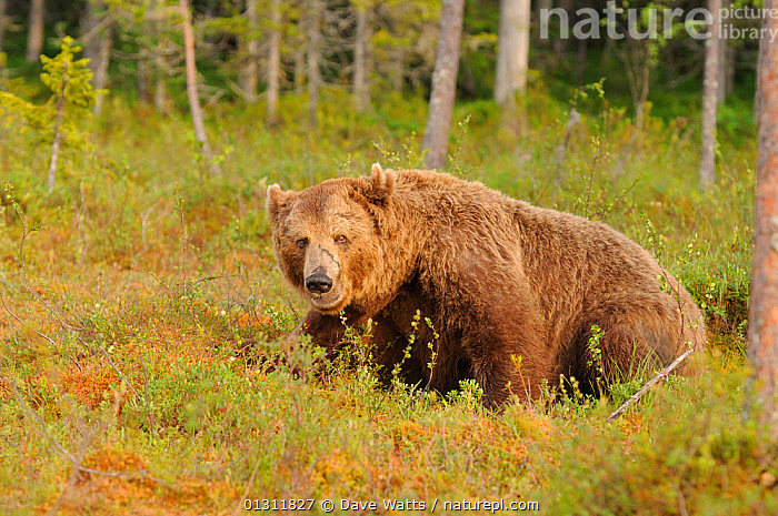 European Brown Bear (Ursos arctos) old male sitting in Pine forest clearing, Finland, Scandinavia, BEARS,CARNIVORES,FORESTS,MALES,MAMMALS,SCANDINAVIA,SITTING,TREES,VERTEBRATES,Europe,PLANTS, Dave Watts