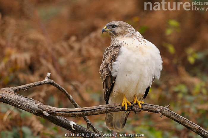Common Buzzard (Buteo buteo) with white feather on breast, perched on tree branch in woodland, UK, BIRDS,BIRDS OF PREY,FEATHERS,HAWKS,UK,VERTEBRATES,WOODLANDS,Europe,United Kingdom, Dave Watts
