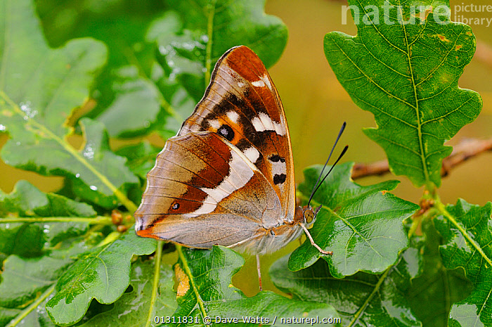 Purple Emperor Butterfly (Apatura iris) at rest on Oak tree (Quercus) branch, France, ARTHROPODS,BUTTERFLIES,EUROPE,FRANCE,INSECTS,INVERTEBRATES,LEAVES,LEPIDOPTERA,OAK TREE ,WOODLANDS, Dave Watts