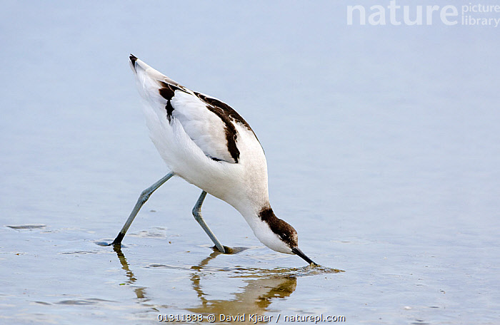 Avocet (Recurvirostra avosetta) feeding, Brownsea Island, Poole harbour, Dorset, England October, AVOCETS,BEHAVIOUR,BIRDS,COASTS,EUROPE,FEEDING,UK,VERTEBRATES,WADERS,United Kingdom, David Kjaer