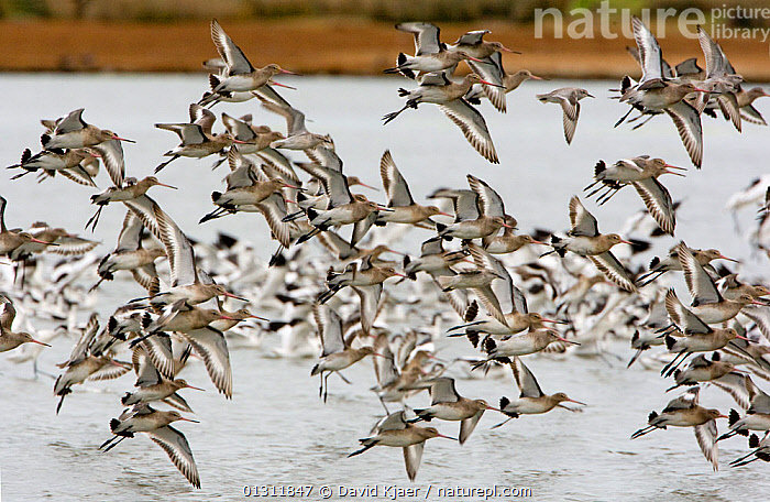 Flock of Black-tailed Godwit (Limosa limosa) in flight, autumn, Brownsea Island, Poole Harbour, Dorset, England October  ,  BIRDS,COASTS,EUROPE,FLOCKS,FLYING,GODWITS,RESERVE,UK,VERTEBRATES,WADERS,United Kingdom  ,  David Kjaer
