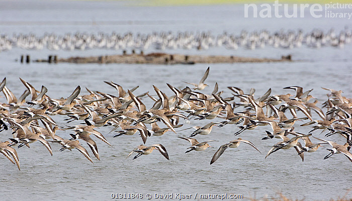 Flock of Black-tailed Godwit (Limosa limosa) in flight, autumn, Brownsea Island, Poole Harbour, Dorset, England October, BEHAVIOUR,BIRDS,COASTS,EUROPE,FLOCKS,FLYING,GODWITS,RESERVE,UK,VERTEBRATES,WADERS,WATER,ENGLAND,United Kingdom, David Kjaer
