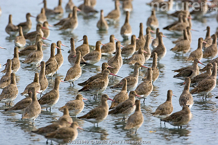 Flock of Black-tailed Godwit (Limosa limosa) at high tide, Brownsea Island, Poole Harbour, Dorset, England October  ,  BIRDS,COASTS,EUROPE,FLOCKS,GODWITS,ROOSTING,UK,VERTEBRATES,WADERS,United Kingdom  ,  David Kjaer