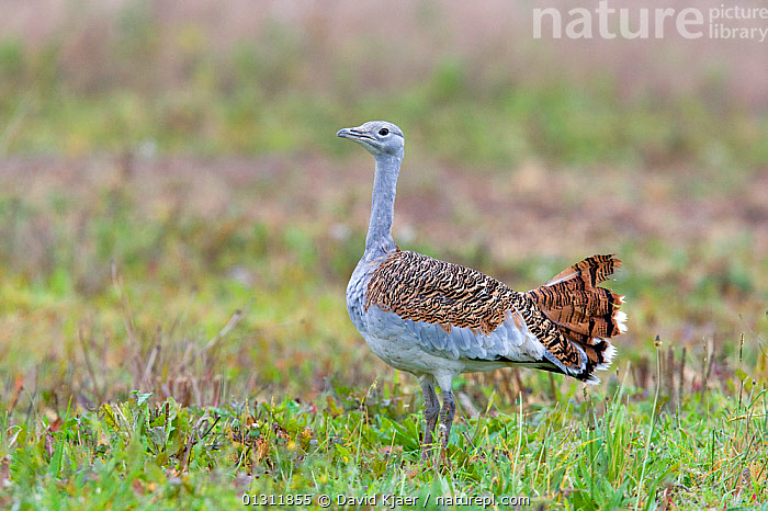 Great Bustard (Otis tarda) female on Salisbury Plain, UK - part of a reintroduction project with birds imported under DEFRA licence from Russia., BIRDS,BUSTARDS,CONSERVATION,ENDANGERED,EUROPE,FEMALES,PORTRAITS,PROFILE,UK,VERTEBRATES,WILTSHIRE,United Kingdom, David Kjaer