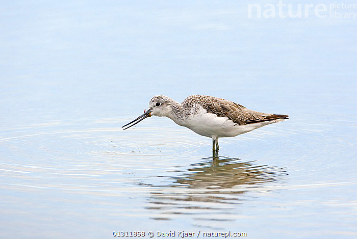 Greenshank (Tringa nebularia) feeding on ragworm, Dorset, England October, ANNELIDS,BEHAVIOUR,BIRDS,COASTS,EUROPE,FEEDING,SANDPIPERS,UK,VERTEBRATES,WADERS,WATER,WORMS,Invertebrates,United Kingdom,,Dorset and East Devon Coast, UNESCO World Heritage Site,, David Kjaer