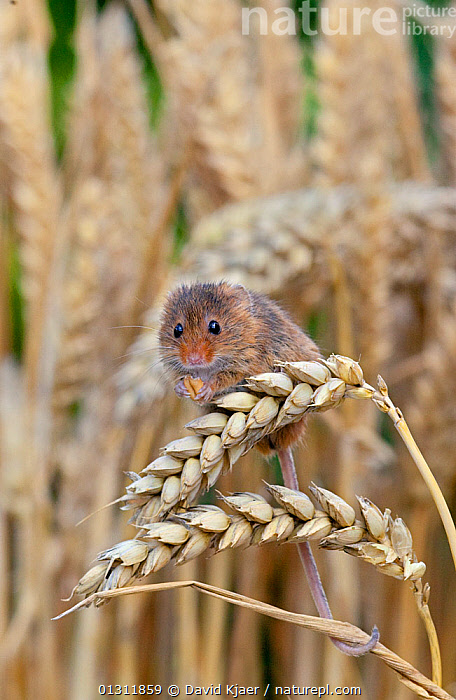 Harvest Mouse ( Micromys minutus) feeding on ear of wheat, Captive, UK, August, CEREALS,CROPS,CUTE,EUROPE,FEEDING,MAMMALS,MICE,RODENTS,UK,VERTEBRATES,VERTICAL,United Kingdom,Muridae, David Kjaer