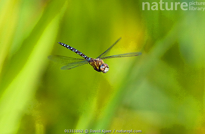 Migrant Hawker dragonfly (Aeshna mixta latrielle) male in flight, Wiltshire, England. August, ARTHROPODS, DRAGONFLIES, EUROPE, FLYING, INSECTS, INVERTEBRATES, ODONATA, UK,United Kingdom, David Kjaer