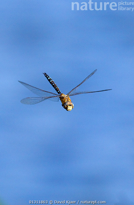 Migrant Hawker dragonfly (Aeshna mixta latrielle) male in flight, Wiltshire, England. August, ARTHROPODS, DRAGONFLIES, EUROPE, FLYING, INSECTS, INVERTEBRATES, MALES, ODONATA, UK, VERTICAL,United Kingdom, David Kjaer