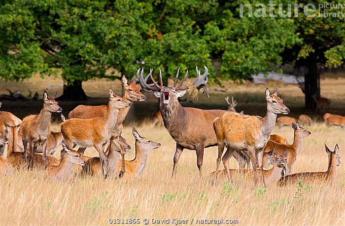 Red Deer (Cervus elaphus) stag bellowing surrounded by hinds during autumn rut, Richmond Park, England. October, ARTIODACTYLA,CERVIDS,COURTSHIP,DEER,EUROPE,FEMALES,GROUPS,HERD,MALES,MAMMALS,MATING BEHAVIOUR,MATING BEHAVIOUR,PARKLAND,RESERVE,UK,VERTEBRATES,United Kingdom, David Kjaer