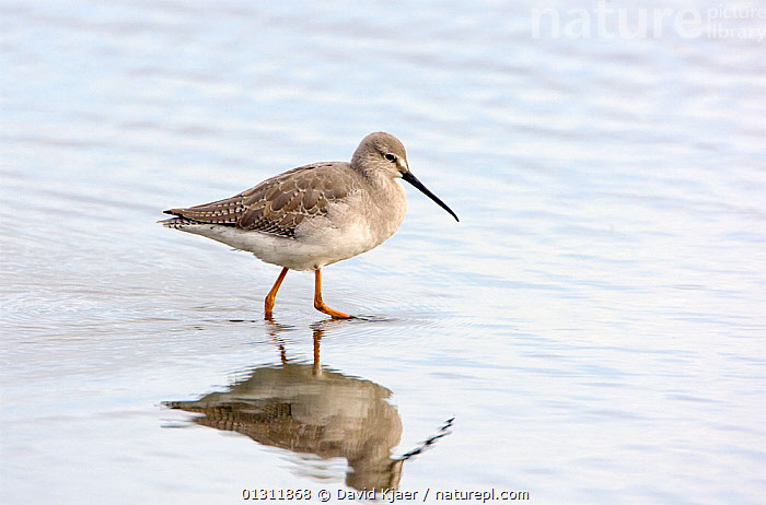 Spotted Redshank (Tringa erythropus) winter plumage, Brownsea Island, Dorset, England October, BIRDS,COASTS,EUROPE,REFLECTIONS,SANDPIPERS,UK,VERTEBRATES,WADERS,WATER,ENGLAND,United Kingdom, David Kjaer