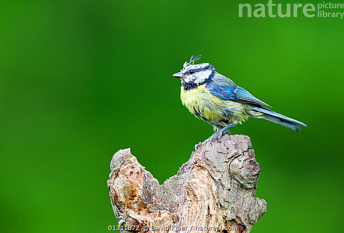 Blue Tit (Parus caeruleus) in poor condition, exhausted from feeding chicks all season, Worcestershire, England, UK, June., BIRDS,ENGLAND,EXHAUSTION,FEATHERS,MESSY,RUN DOWN ,SCRAPPY,SONGBIRDS,TIRED,TITS,UK,VERTEBRATES,Europe,United Kingdom, David Kjaer