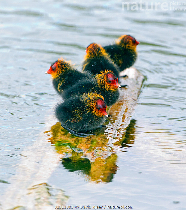 Four Coot (Fulica atra) chicks, perched on exposed surface, surrounded by water, Wiltshire, England, UK. May., BIRDS,CHICKS,COOTS,UK,VERTEBRATES,VERTICAL,WATER,WATERFOWL,Europe,United Kingdom, David Kjaer