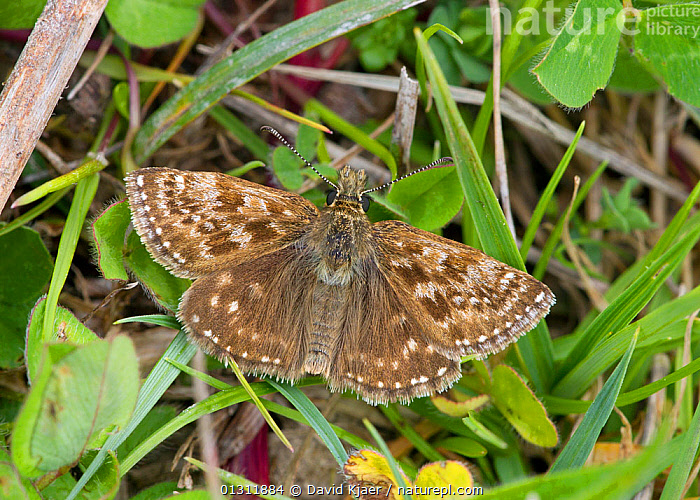 Dingy Skipper (Erynnis tages) at rest with wings open, Wiltshire, England, ENGLAND,INSECTS,INVERTEBRATES,LEPIDOPTERA,PORTRAITS,SKIPPER BUTTERFLIES,SKIPPERS,UK,Europe,United Kingdom,Butterflies, David Kjaer