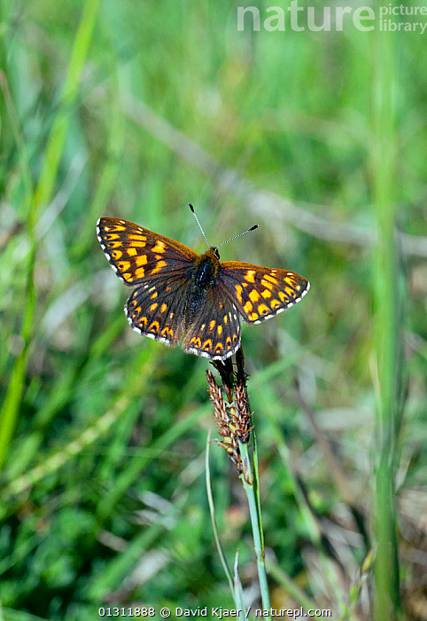 Duke of Burgundy butterfly (Hamearis lucina) at rest on grass stem, with wings open, Wiltshire, England, ARTHROPODS,BUTTERFLIES,ENGLAND,GRASSLAND,INSECTS,INVERTEBRATES,LEPIDOPTERA,PORTRAITS,UK,VERTICAL,Europe,United Kingdom, David Kjaer