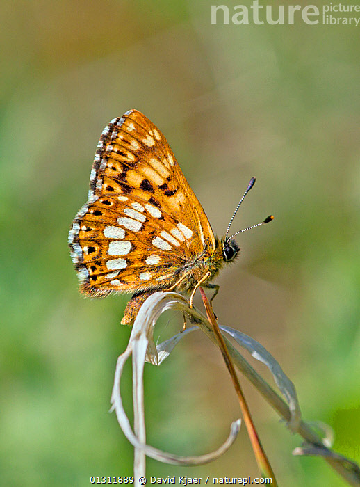 Duke of Burgundy butterfly (Hamearis lucina) at rest on grass stem, with wings closed, Wiltshire, England, ARTHROPODS,BUTTERFLIES,ENGLAND,INSECTS,INVERTEBRATES,LEPIDOPTERA,PORTRAITS,UK,Europe,United Kingdom, David Kjaer