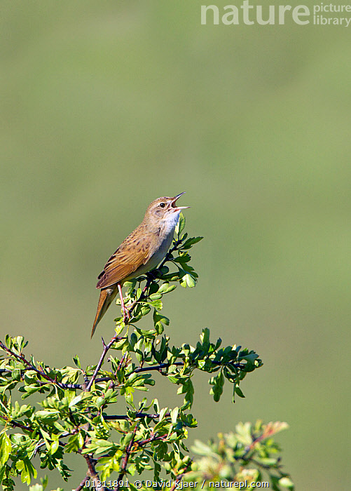 Grasshopper Warbler (Locustella naevia) perched in top of tree, singing. Wiltshire, England, UK. May, BIRDS,CALLING,ENGLAND,SONGBIRDS,SPRING,UK,VERTEBRATES,VERTICAL,VOCALISATION,WARBLERS,Europe,United Kingdom, David Kjaer