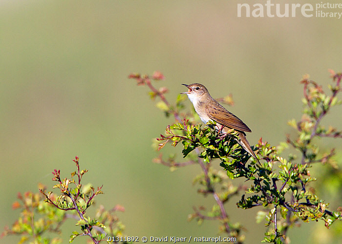 Grasshopper Warbler (Locustella naevia) singing in Hawthorn bush, Wiltshire, England, UK. May  ,  BIRDS,CALLING,ENGLAND,SONGBIRDS,UK,VERTEBRATES,VOCALISATION,WARBLERS,Europe,United Kingdom  ,  David Kjaer