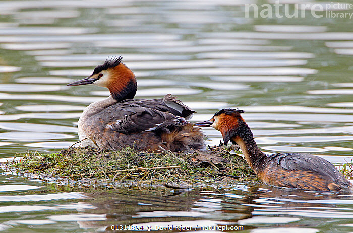 Pair of Great Crested Grebes (Podiceps cristatus) at nest on water, Wiltshire, England, UK, May.  ,  BIRDS,ENGLAND,GREBES,MALE FEMALE PAIR,NESTS,UK,VERTEBRATES,WATER,WATERFOWL,Europe,United Kingdom  ,  David Kjaer