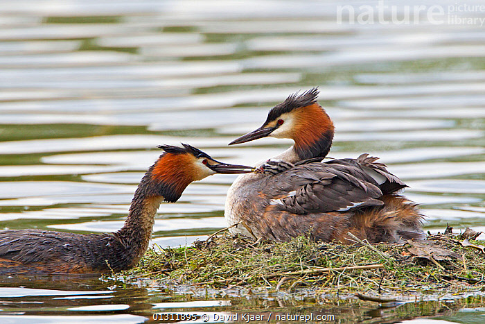 Pair of Great Crested Grebes (Podiceps cristatus) at nest, Wiltshire, England, UK, May., BIRDS,ENGLAND,GREBES,MALE FEMALE PAIR,NESTS,UK,VERTEBRATES,WATER,WATERFOWL,Europe,United Kingdom, David Kjaer