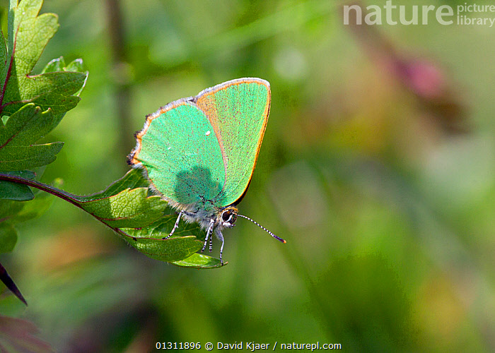 Green Hairstreak (Callophrys rubi) at rest on leaf, with wings closed, Wiltshire, England, UK., ARTHROPODS,BUTTERFLIES,COLOURFUL,ENGLAND,GREEN,INSECTS,INVERTEBRATES,LEPIDOPTERA,PORTRAITS,UK,Europe,United Kingdom, David Kjaer