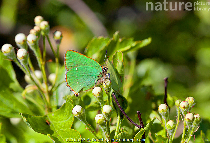 Green Hairstreak butterfly (Callophrys rubi) at rest on leaves, with wings closed, Wiltshire, England, UK., ARTHROPODS,BUTTERFLIES,COLOURFUL,ENGLAND,GREEN,INSECTS,INVERTEBRATES,LEPIDOPTERA,UK,Europe,United Kingdom, David Kjaer