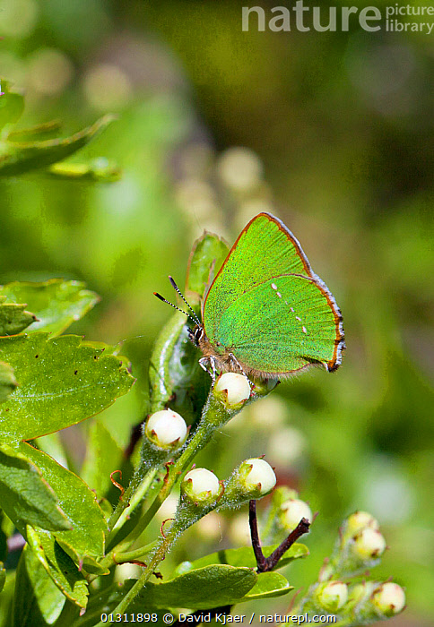 Green Hairstreak butterfly (Callophrys rubi) at rest on Hawthorn flower buds with wings closed, Wiltshire, England, UK., ARTHROPODS,BUTTERFLIES,COLOURFUL,ENGLAND,GREEN,INSECTS,INVERTEBRATES,LEPIDOPTERA,UK,VERTICAL,Europe,United Kingdom, David Kjaer