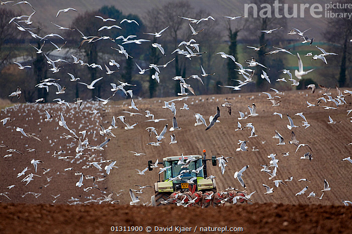 Mixed flock of Gulls following a ploughing tractor, in a field, Wiltshire, England, UK, March 2010, AGRICULTURE,ARABLE,BIRDS,COUNTRYSIDE,FARMING,FARMLAND,FEEDING,FIELDS,FLOCKS,GULLS,LANDSCAPES,PLOUGH,SEABIRDS,UK,VEHICLES,VERTEBRATES,WINTER,Europe,United Kingdom,ENGLAND, David Kjaer