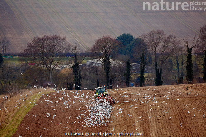 Mixed flock of Gulls following a ploughing tractor, in a field, Wiltshire, England, UK, March 2010., AGRICULTURE,ARABLE,BIRDS,COUNTRYSIDE,FARMING,FARMLAND,FEEDING,FIELDS,FLOCKS,GULLS,LANDSCAPES,PLOUGH,SEABIRDS,UK,VEHICLES,VERTEBRATES,WINTER,Europe,United Kingdom,ENGLAND, David Kjaer