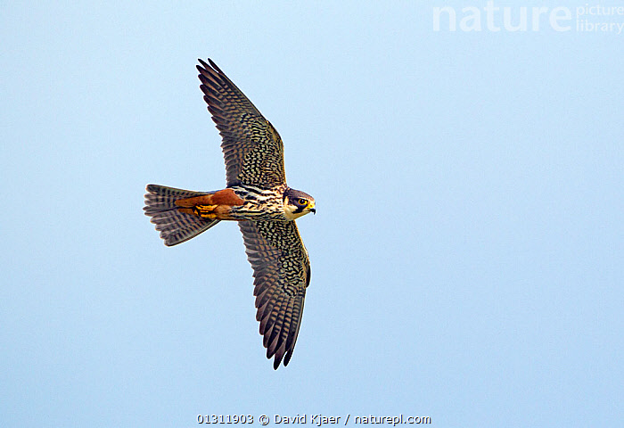 Hobby (Falco subbuteo) in flight, Wiltshire, England, UK, May.  ,  BIRDS,BIRDS OF PREY,CUTOUT,ENGLAND,FALCONS,FLYING,UK,VERTEBRATES,Europe,United Kingdom  ,  David Kjaer