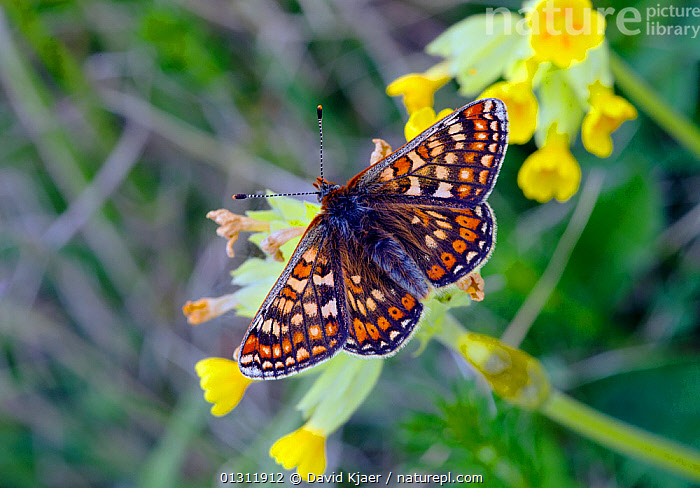 Marsh Fritillary butterfly (Euphydryas aurinia) at rest on flowering Cowslips, with wings open, Wiltshire, England, UK., ARTHROPODS,BUTTERFLIES,ENGLAND,FLOWERS,INSECTS,INVERTEBRATES,LEPIDOPTERA,SPRING,UK,Europe,United Kingdom, David Kjaer