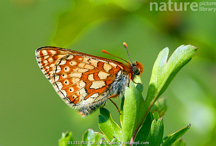 Marsh Fritillary butterfly (Euphydryas aurinia) at rest on leaf, with wings closed, Wiltshire, England, UK., ARTHROPODS,BUTTERFLIES,ENGLAND,INSECTS,INVERTEBRATES,LEPIDOPTERA,PORTRAITS,UK,Europe,United Kingdom, David Kjaer